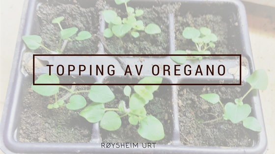 Topping av oregano