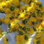 Høste løvetannblomster