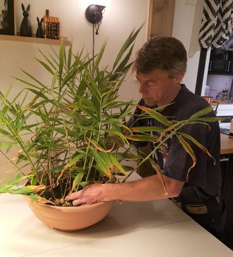 dyrke ingefær i potte