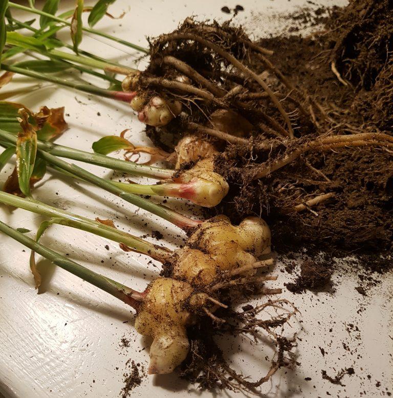 Høste egendyrket ingefær