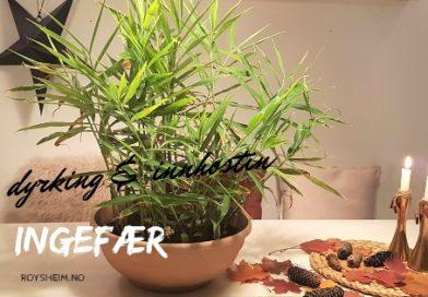 dyrking og innhøsting av ingefær i potte