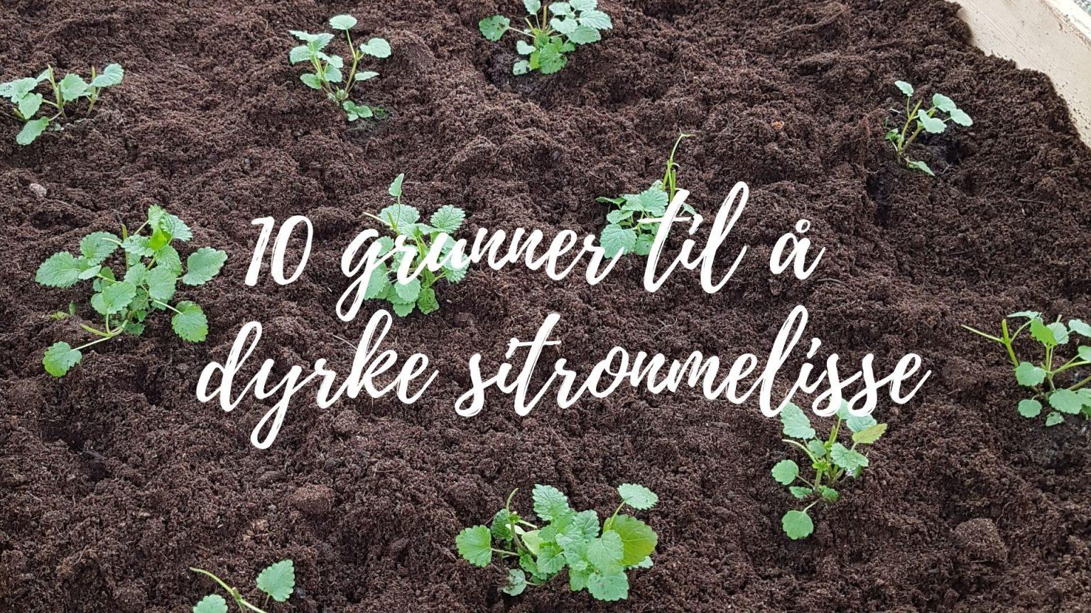 10 grunner til å dyrke Sitronmelisse