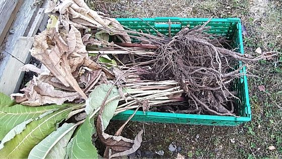 Alantrot innhøsting