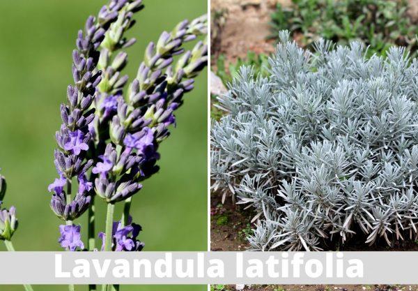 Dyrke lavendel lavandula latifolia